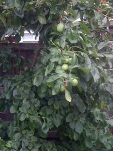 Hidden Plum Tree